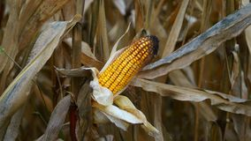 Maize in autumn. Dry maize before harvest in autumn Stock Image