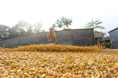 A Worker spread maize crop for drying. Maize in Bangladesh at most Third important cereal after rice and wheat. New crop: 3100 ha in 1900, 10000 ha in 1995 Royalty Free Stock Photography