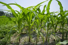 Green Maize crop plants, Manikgonj, Bangladesh. Maize in Bangladesh at most Third important cereal after rice and wheat. New crop: 3100 ha in 1900, 10000 ha in Stock Photography