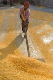 A Worker spread maize crop for drying. Maize in Bangladesh at most Third important cereal after rice and wheat. New crop: 3100 ha in 1900, 10000 ha in 1995 Royalty Free Stock Photos