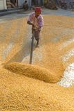 A Worker spread maize crop for drying. Maize in Bangladesh at most Third important cereal after rice and wheat. New crop: 3100 ha in 1900, 10000 ha in 1995 Stock Photo