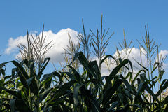 Maize with blue sky and clouds Stock Image