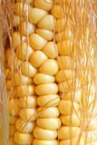 Maize cob. Close-up of maize cob Stock Photo