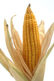 Maize cob. A maize cob with leaves Royalty Free Stock Image