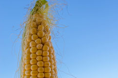 Maize cob detail with blue sky Stock Image