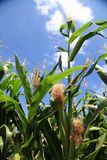 Maize. Royalty Free Stock Images