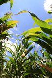 Maize. Royalty Free Stock Photo