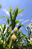 Maize. Stock Images