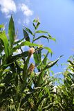 Maize. Stock Image