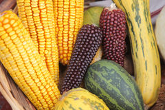 Maize cobs Stock Image