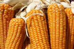 Maize cobs Royalty Free Stock Image