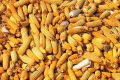 Maize cobs Stock Photography