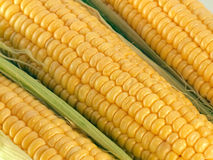 Maize cobs. Close up of a tree maize cobs Stock Images
