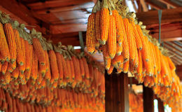 Maize cobs Royalty Free Stock Photo