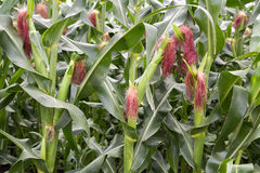 Maize cobs with hair Royalty Free Stock Photography