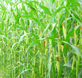 Maize corn Stock Images