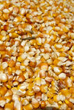 Maize corn. Background of yellow maize corn kernels ready for making popcorn Royalty Free Stock Image
