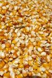 Maize corn royalty free stock image