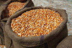Maize Corn. Maize or corn freshly harvested being stored in sacks for transportation Royalty Free Stock Photos