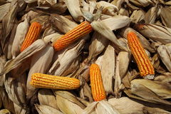 Maize Corn. Maize or corn freshly harvested lying in the field Stock Images