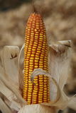 Maize Corn. Maize or corn freshly harvested close up shot Stock Photos