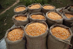 Maize Corn. Maize or corn freshly harvested stored in sacks Royalty Free Stock Photo