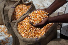 Maize Corn. Maize or corn freshly harvested stored in sacks Stock Photo
