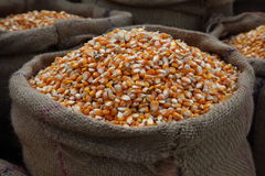 Maize Corn. Maize or corn freshly harvested stored in sacks Royalty Free Stock Image