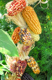 Maize / corn Royalty Free Stock Photography