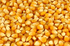 Maize corn background. The yellow background of fresh maize corn Royalty Free Stock Photos