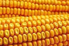 Maize corn ceral Royalty Free Stock Image