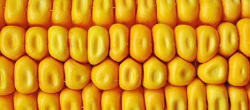 Maize corn ceral Royalty Free Stock Photography