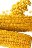 Maize corn cob Stock Images