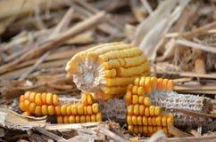 Maize, Corn On The Cob, Sweet Corn, Commodity Stock Image