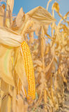 Maize corn ear on stalk Stock Photos