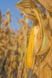 Maize corn ear on stalk Stock Photography