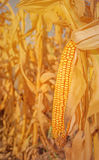Maize corn ear on stalk Stock Photo