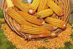 Maize corn Royalty Free Stock Images