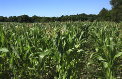 Maize Corn field Stock Photo