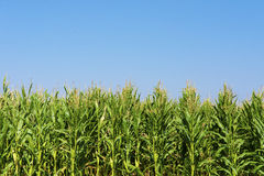 Maize or corn field growing up on blue sky. Stock Images