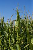 Maize or corn field growing up on blue sky. Royalty Free Stock Photography
