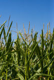 Maize or corn field growing up on blue sky. Royalty Free Stock Photos