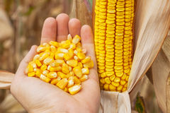 Maize corn in hand. Golden maize corn in hand Royalty Free Stock Photos