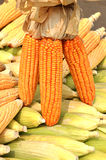 Maize or corn. Maize/Corn known in some English-speaking countries as corn, is a large grain plant domesticated by indigenous peoples in Mesoamerica in Stock Photos