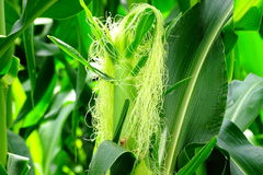 Maize or Corn Silk. Beautiful portrait of Maize or  Corn silk is a common name for the shiny, thread-like, weak fibers  that grow as part of ears of corn or Stock Images