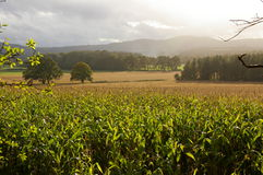 Maize corn valley landscape Royalty Free Stock Photo
