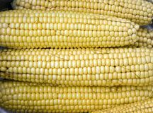 Maize corncobs Stock Photos