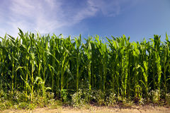 Maize cornfield Stock Photos
