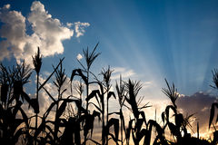 Maize cornfield at sunset Royalty Free Stock Photography