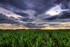Maize Crop. Maize row crop at sunset Stock Photography